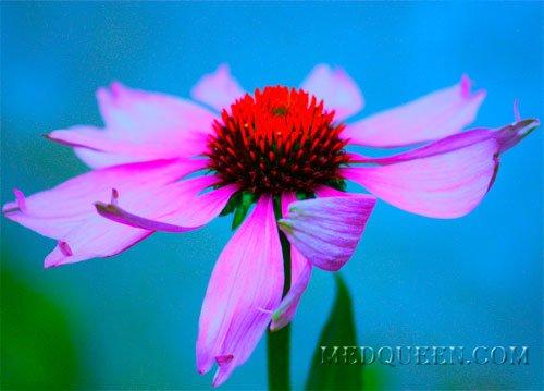 EchinaceaЭхинацея композитум С