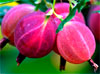 Крыжовник обыкновенный / Grossularia reclinata