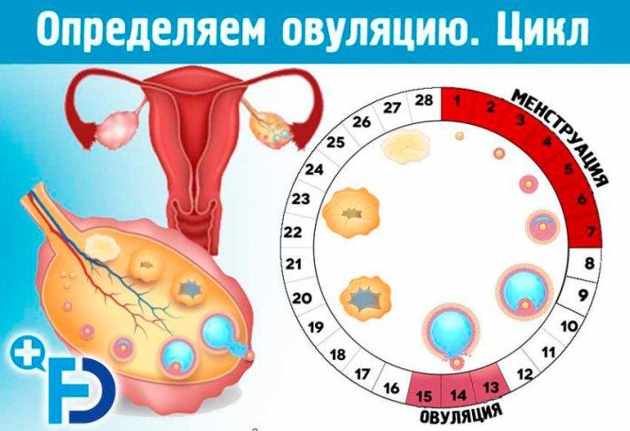 Овуляция и распространенные способы определения периода созревания яйцеклетки