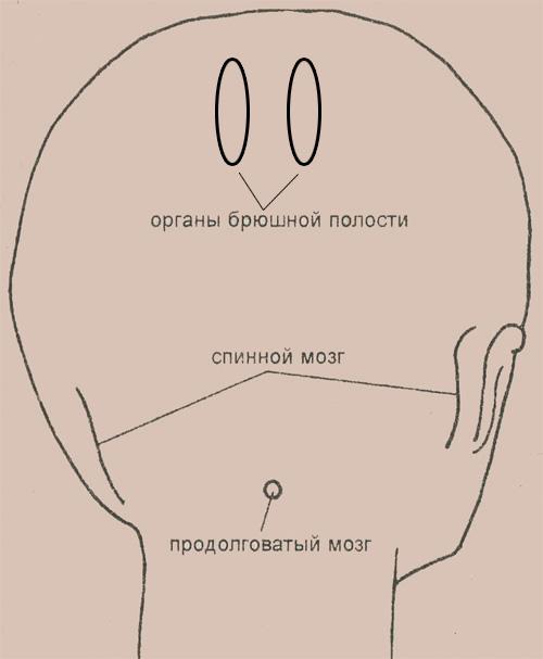 Затылок и расположение рефлекторных зон, связанных с продолговатым мозгом