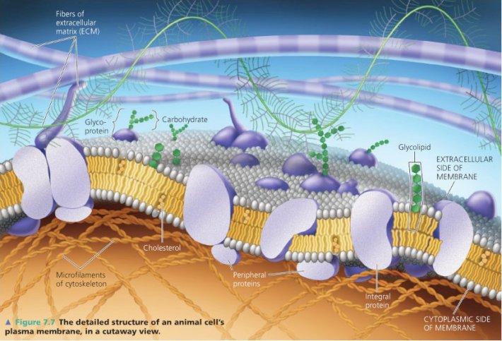 Внеклеточный матрикс. Структура и функции