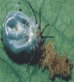 Яйца самки клеща