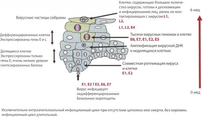 Инфекционный цикл типов ВПЧ высокого онкогенного риска