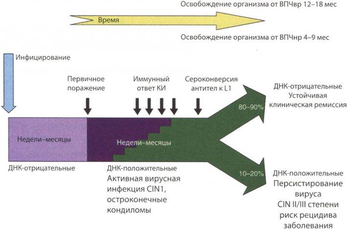 Течение генитальной ВПЧ-инфекции