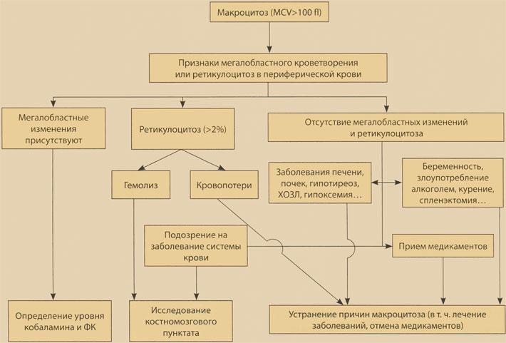 Алгоритм диагностики макроцитоза
