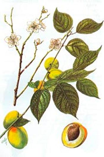 Абрикос обыкновенный / Armeniaca vulgaris; абрикос звичайний; мореля,  жерделя, рурега