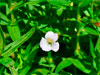 Авран лекарственный / Gratiola officinalis