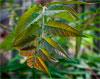 Айлант высочайший / Ailanthus altissima