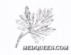 Aconitum nanum