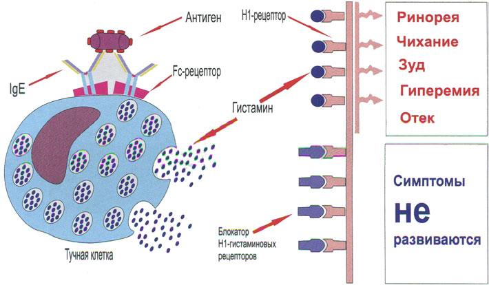 Механизм действия Н1-гистаминовых рецепторов