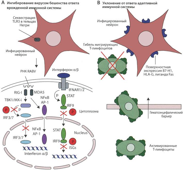 Механизмы уклонения RABV от иммунного ответа