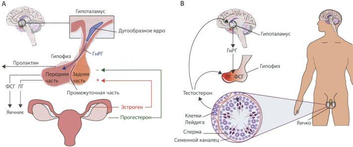 Гипоталамо-гипофизарная ось у женщин и мужчин