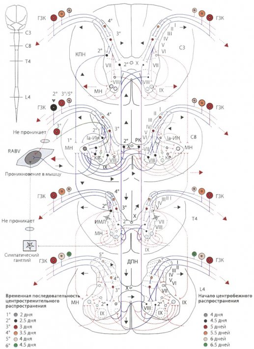 Пути распространения RABV к и по спинному мозгу