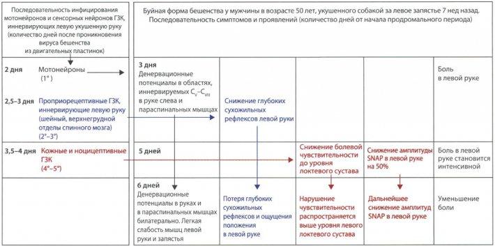 Связь между продромальными симптомами и проявлениями и распространением вируса бешенства по спинному мозгу у больного с буйной формой бешенства