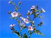 Алтей лекарственный / Althaea officinalis