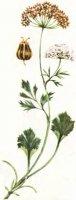 Anisum vulgare