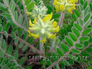 Astragalus dasyanthus
