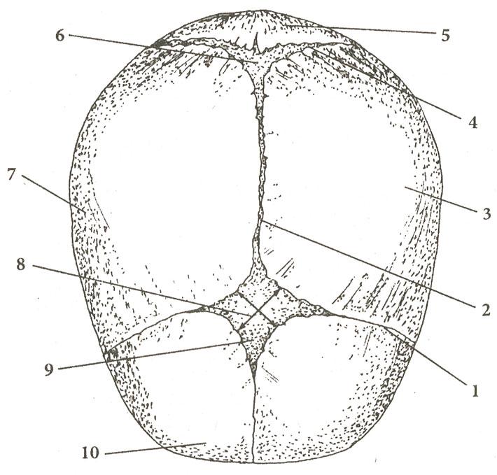 Расположение швов и родничков (схема)