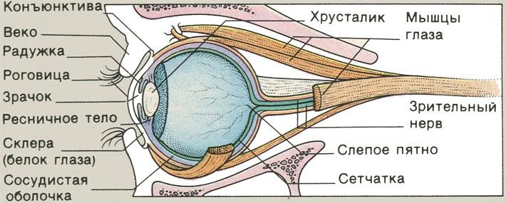 Органы зрения у ребенка
