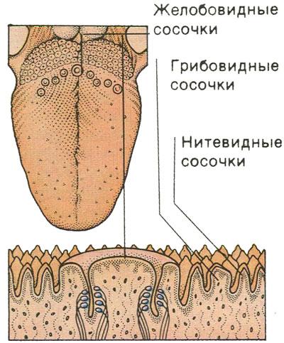 Органы вкуса