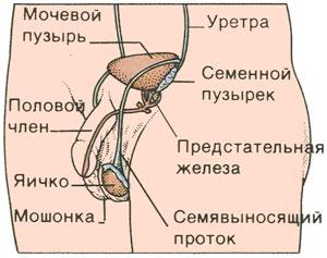 Репродуктивная система у мальчиков