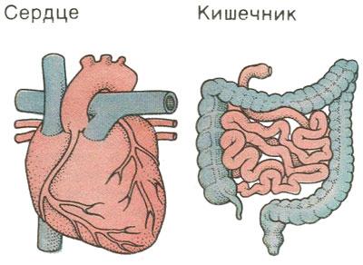 Миокард, кишечник