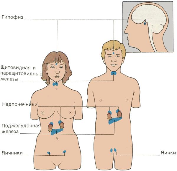 Основные железы человеческого организма