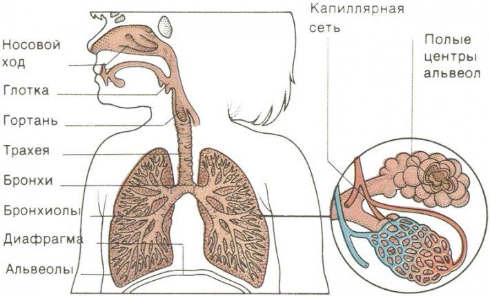 Дыхательная система у ребенка