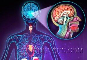 Функции эндокринной системы: анатомия, физиология и строение человека