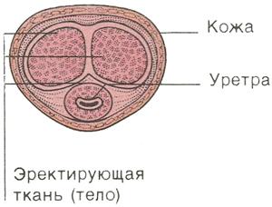 Поперечное сечение полового члена