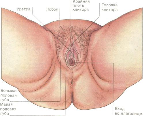 Женские наружные половые органы