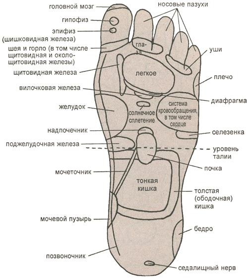 Основные рефлекторные зоны, расположенные на подошве левой ноги