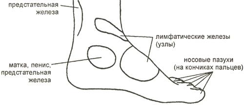 Биологически активные области, расположенные на внутренней стороне стопы