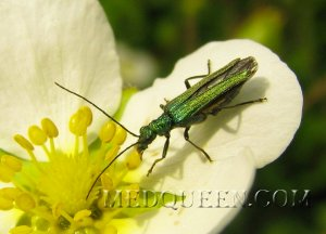 Cantharis vesicatoria