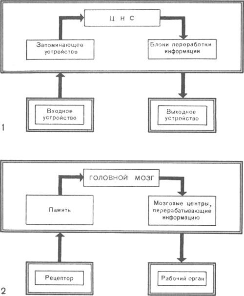 Схема работы ЦНС и головного мозга