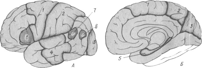 Локализация функций в коре больших полушарий головного мозга