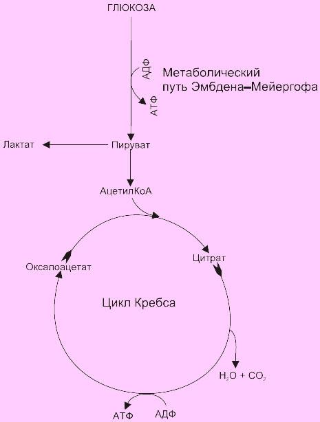 Внутриклеточное окисление глюкозы