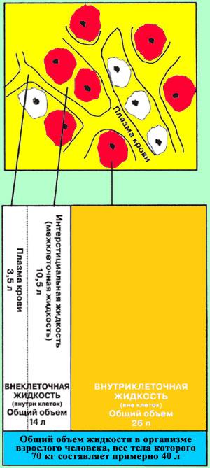 Распределение жидкости в организме человека
