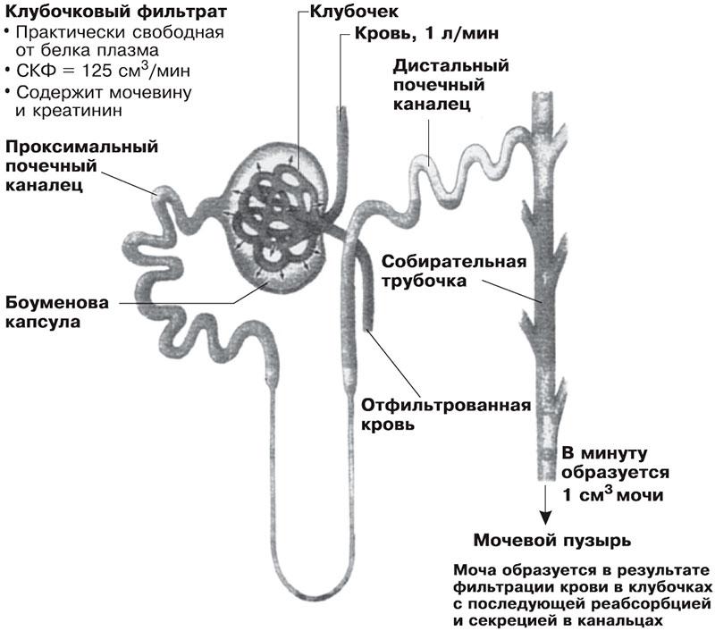 Нефрон и его структура