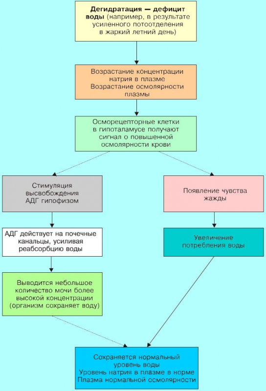 Физиологическая реакция организма при дефиците жидкости
