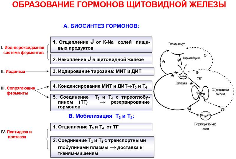 Образование тиреоидных гормонов