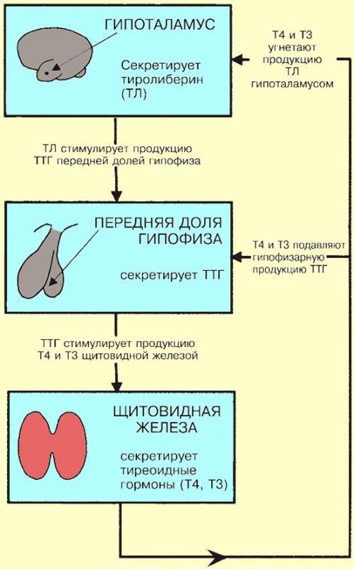 Регуляция процесса образования тиреоидных гормонов