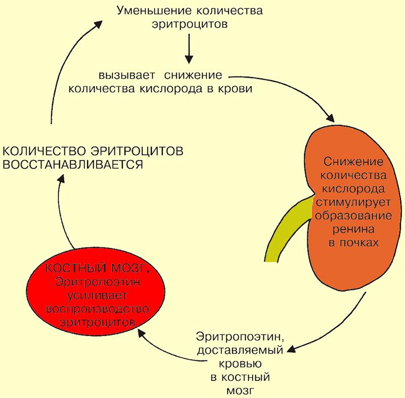 Регуляция продукции эритроцитов