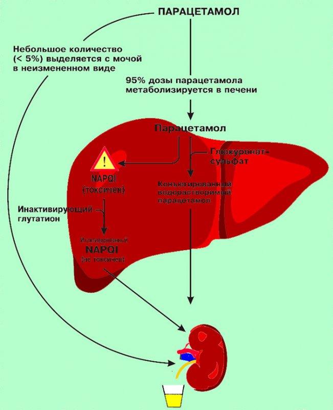Метаболизм парацетамола