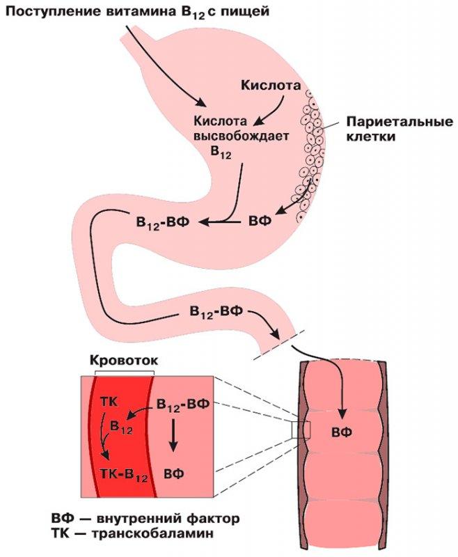 Усвоение витамина B12