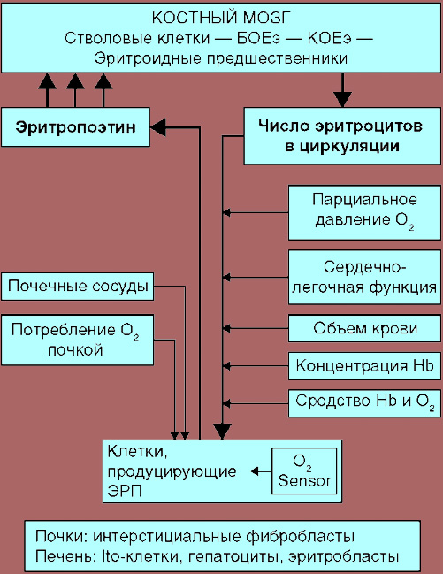 Роль эритропоэтина в регуляции эритропоэза