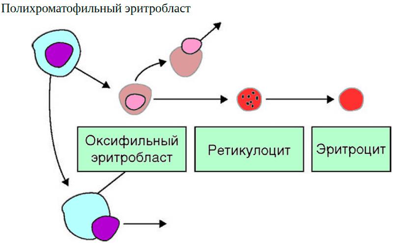 Ускоренный эритропоэз