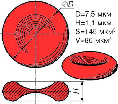 Форма и размеры эритроцита
