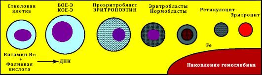 Гемоглобинизация клеток эритроидного ряда