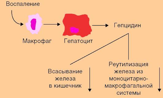 Роль гепцидина в регуляции гомеостаза